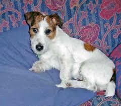 miniature jack russel terrier