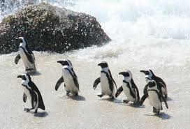 penguins waddle