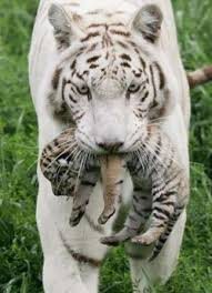 baby white tiger pics