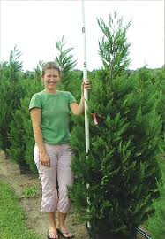 evergreen cypress