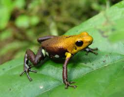 golden frog of Supata