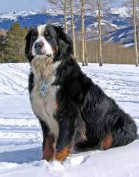 mountain bernese dog
