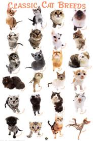 cat breeds with pictures