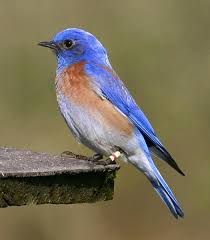 picture of a blue bird