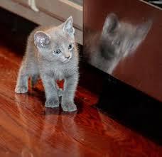 russian blue kittens