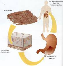 diagram of the human stomach