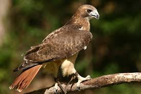 red tail hawk pictures