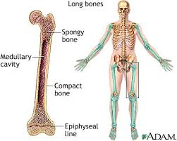 bones in the arms