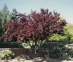 ornamental plum trees