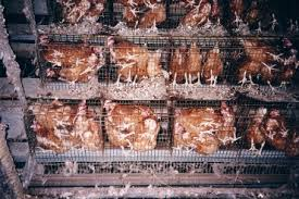 chickens cages