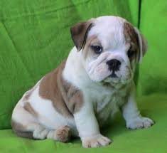 english bull dogs for sell