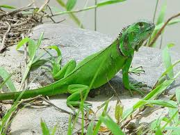 images of iguanas