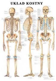 uklad kostny czlowieka