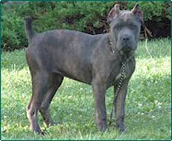 blue cane corso puppies