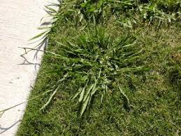 lawn weed pictures