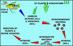 nitrogen cycle aquariums