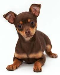 chihuahua dog picture