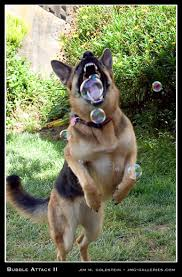 german shepherd attack