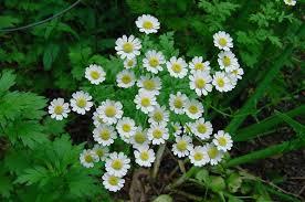 chrysanthemum parthenium