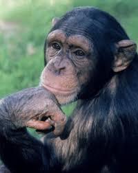 pet chimpanzees