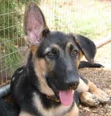 german shepherd puppies ears