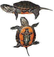paint turtles