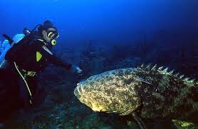 grouper images
