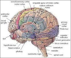 mind human