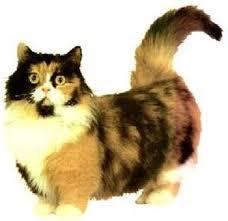 munchkin cats breeders