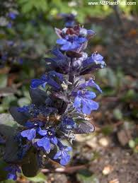 ground cover with blue flowers