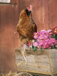 chicken breeds poster