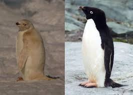 adelie penguins pictures