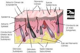 tejido epidermico