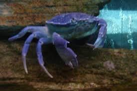 crab aquariums
