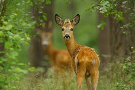 deers animals