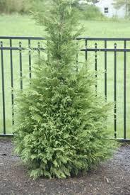 cypress evergreen