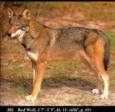 pictures of red wolves