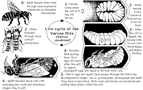 honey bee life cycle diagram