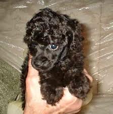 poodles mini toy