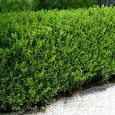 boxwood evergreen