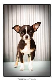boston terrier chiwawa