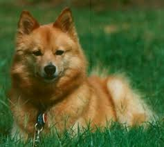 finnish spitz pictures