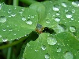 عکس بارون رو برگ - شبنم