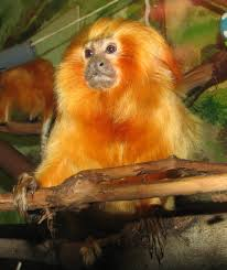 golden lion tamarin habitat
