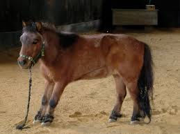 laminitis horse