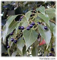 camphor leaf