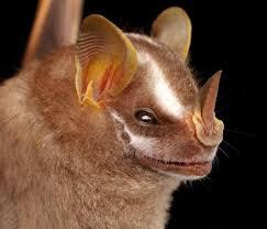 bats faces