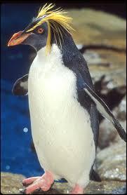 macaroni penguin photos