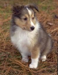 puppy sheltie