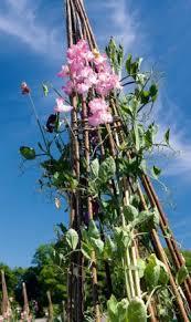 climbing sweet peas